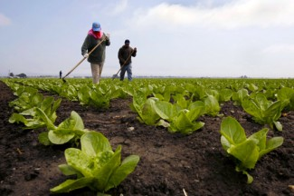 Workers tend to a lettuce field near Salinas, California. (CNS photo/Robert Galbraith, Reuters)